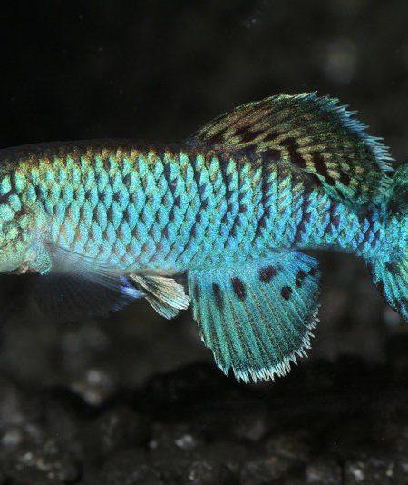 Nothobranchius eggersi blue
