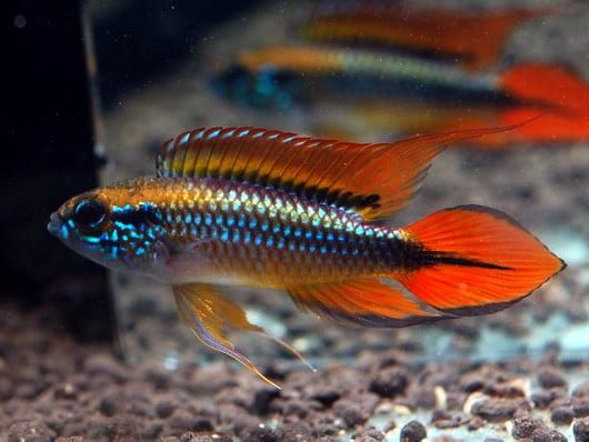 Apistogramma agassizi super red