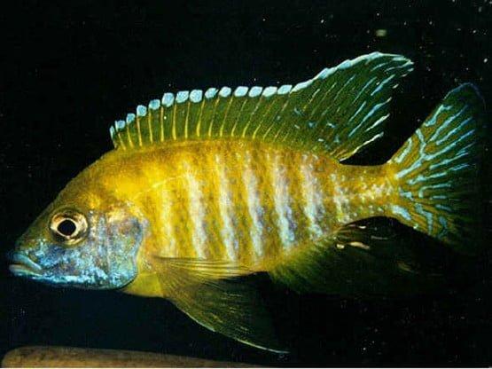 Aulonocara sp. baenchi