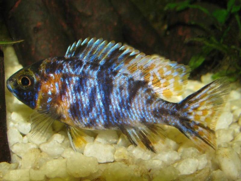 Aulonocara sp. calico