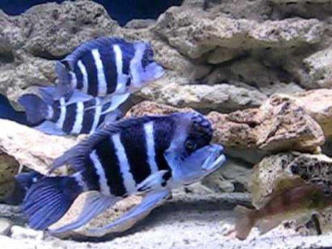 Cyphotilapia gibberosa blue Zaire Moba