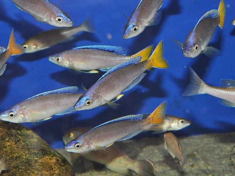 Cyprichromis leptosoma jumbo malasa