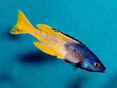 Cyprichromis lept. kitumba jumbo