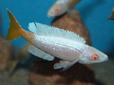 Cyprichromis leptosoma Kitumba albino