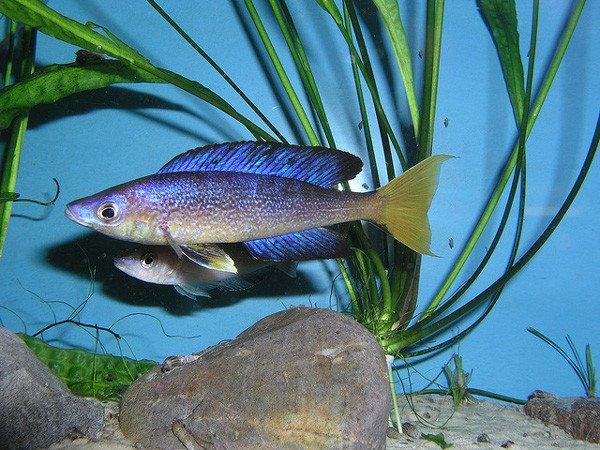 Cyprichromis microlepidotus bulu point