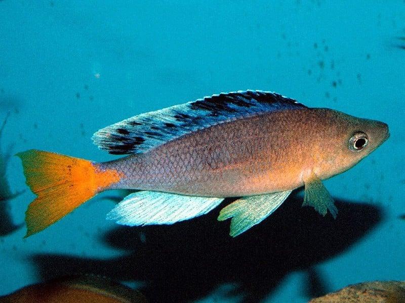 Cyprichromis sp. Mbita Grandiosus