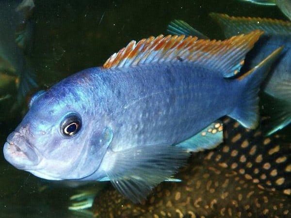 Labidochromis lipingo