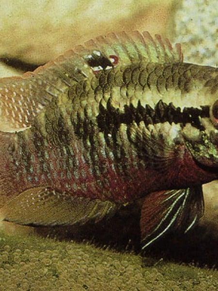 Laetacara Aequidens dorsigerus red