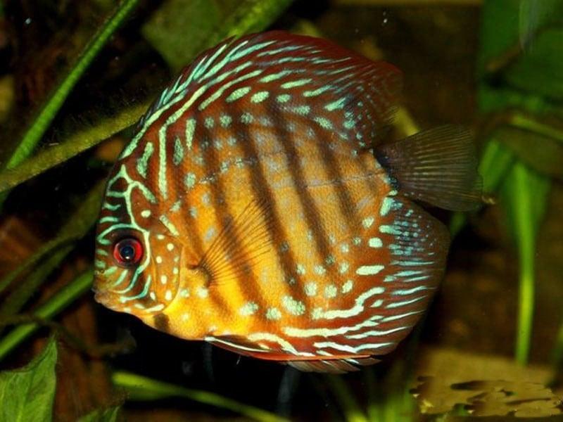 Symphysodon axelrodi