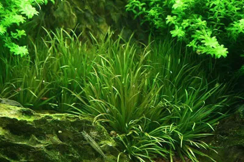 Blyxa Japonica